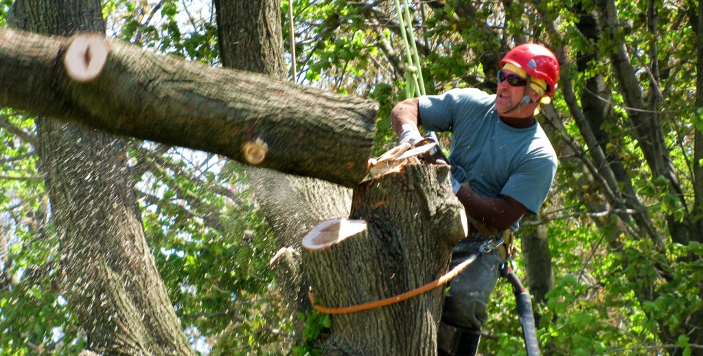 Bruce of EZ Tree CT Tree Service Cutting A Leader