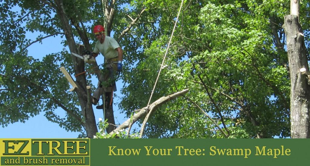 Swamp Maple Info from EZ Tree CT Tree Service